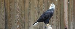Bald Eagle Habitat
