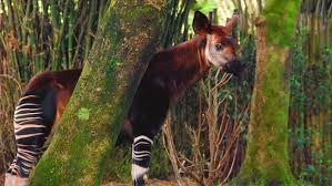 Okapis – Disney Animals