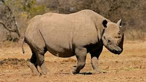Rhinos – Disney Animals
